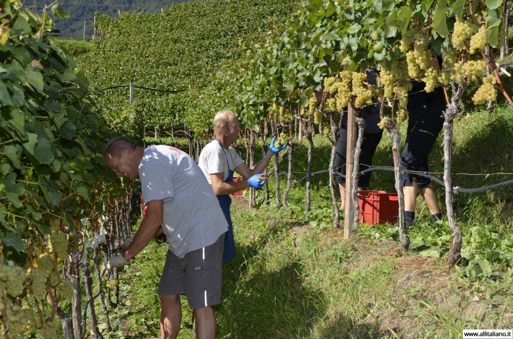 Сбор винограда. Фото: Конобеев константин.