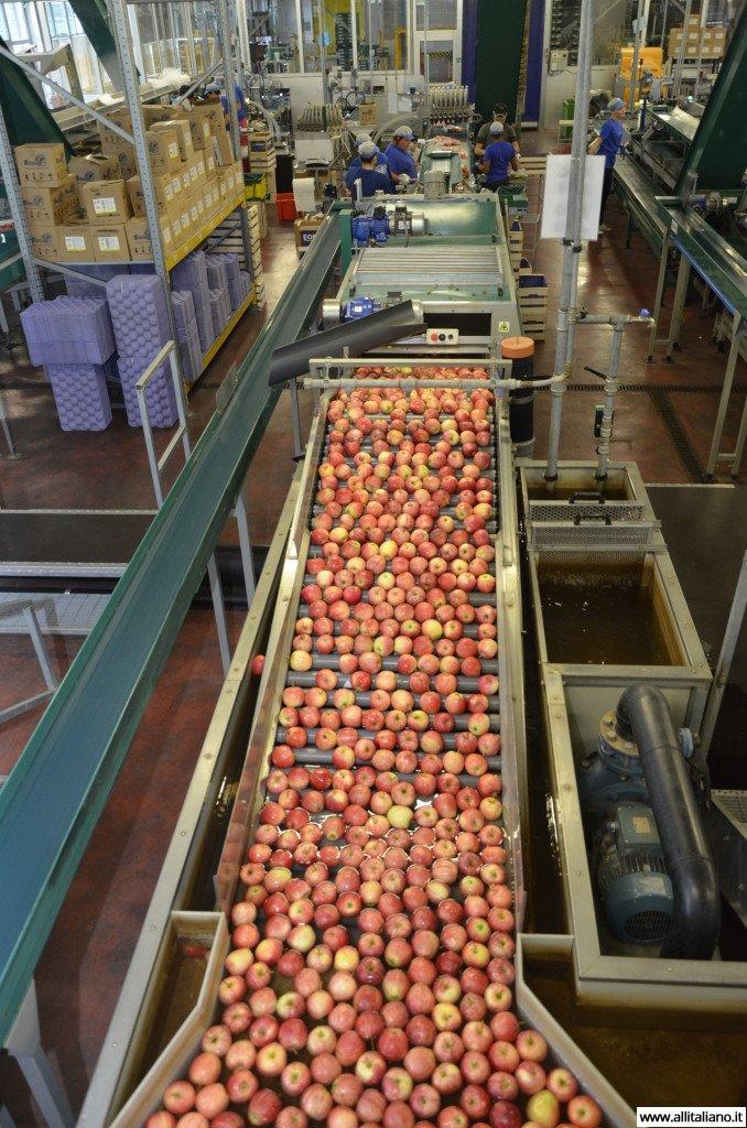 Конвейер по сортировке яблок