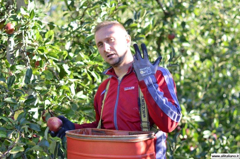 Южный Тироль: как собрать яблоки
