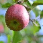 Яблоневый сад в Южном Тироле