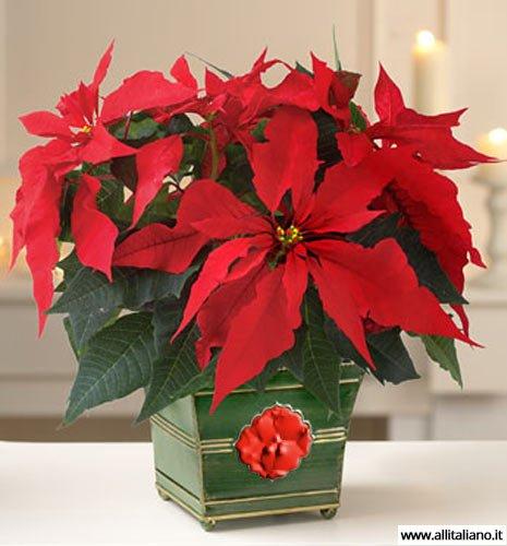 Пуансеттия - самый распространенный подарок на Рождество
